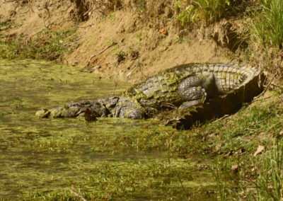 Crocodile in Bardia_resize