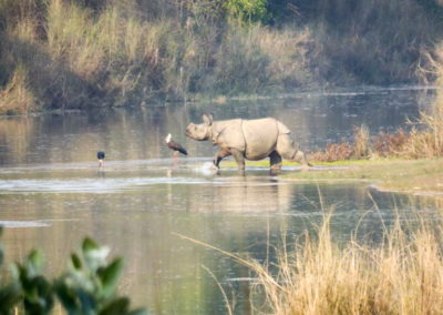 One-horned rhino Bardia 3_resize