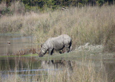 One-horned rhino Bardia 4_resize