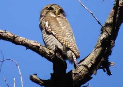 Owl in Bardia
