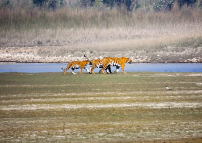 Royal Bengal Tiger in Bardia Nepal