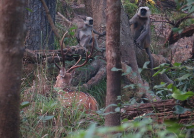 Deer and monkey in Bardia_resize