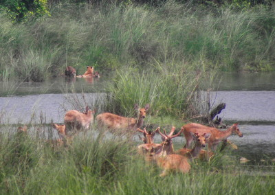 Deer in Bardia