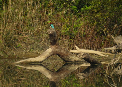 Kingfisher in Bardia_resize