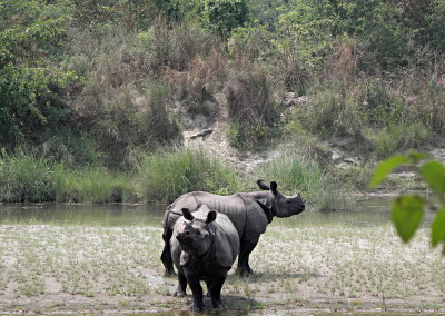 Rhinos at Bardia Kingfisher resort