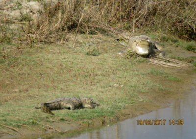 Crocodile in Bardia