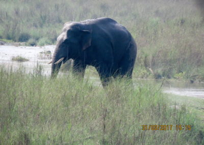 Elephant in Bardia_resize