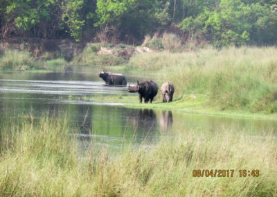 One horned Rhino in Bardia