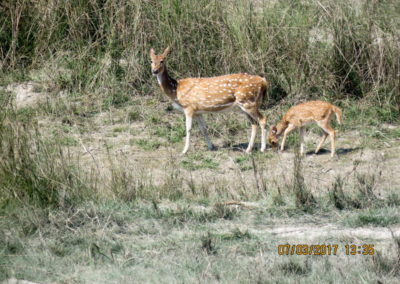 Spotted Deer in Bardia