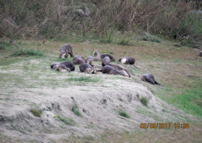 Wild otters in Bardia 1_resize